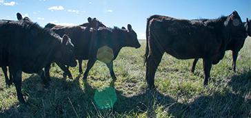 cta-cows