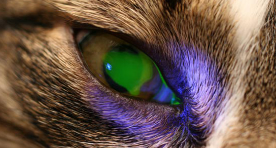 Dog Eye Veterinary Ophthalmologist