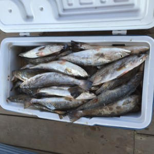 Nice Box Of Speckle Trout
