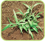 crabgrass-01