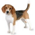 Beagle-e1411824992740-120x120