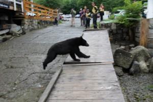 Black Bear at Telegraph Cove