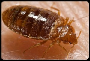 bed-bug-pick-for-website-300x203