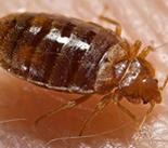 bed bug image resized.fw