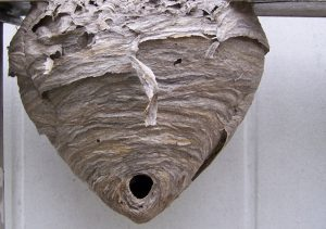 How To Get Rid Of A Hornets Nest Spectrum Pest Control