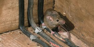 damaged-electric-wiring-from-mice